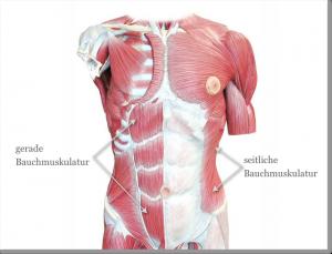 Bauchmuskeln_Grafik